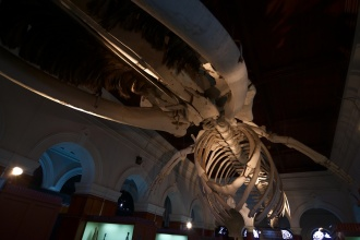 Velká kostra velryby. Asi nejúžasnější věc z celého muzea.