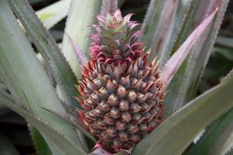 Malý ananas