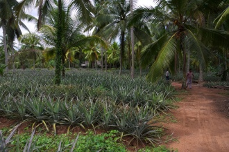 Ananasová farma