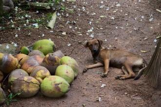 Pes a kopa zelených kokosů