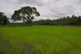 Další rýžová pole