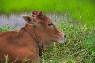 Kráva u rýžových polí