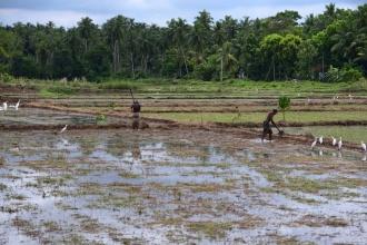 Těžká práce na rýžových polích