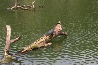 Varan u Kandyjského jezera