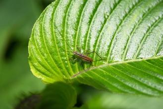 Jakási kobylka s dlouhými tykadly.
