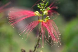 Květy stromu, který má podobné listy jako akát.