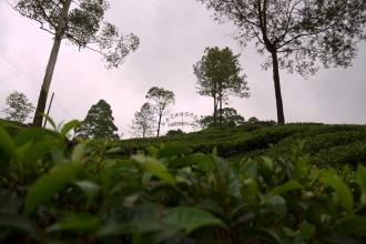Při cestě čajovými plantážemi oblasti Labookellie, blízko Nuwara Eliya.