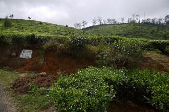 Pohled skrz čajovníky na Single tree hill 2100mnm.