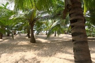 Palmové zahrady se zelenými kokosy.