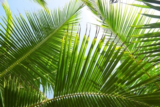 Palmové listy.