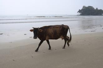 Kráva na pláži.