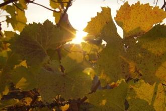 Východ slunce skrz listy vinné révy ....