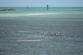 Velikost pelikánů vyniká oproti rackovi ...