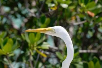 Volavka bílá. V pozadí mangrovníky a azurové karibské moře :)