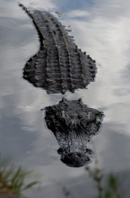 Aligátor u Everglades. (na klik plné rozlišení pro lepší detail čumáku :)
