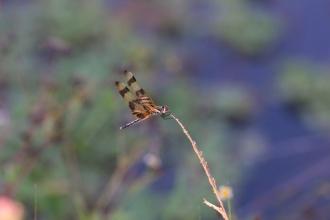 Vážka u tůňěk. (na klik plné rozlišení)