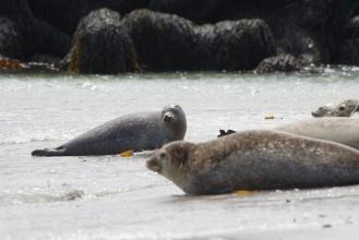 Tuleňi na ostrově Dune