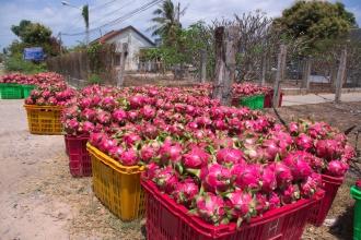 "Sklizeň ""dragon fruit"" - Pitaya, plod kaktusovité rostlinky."