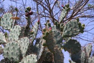Kaktusy u Mui Ne.