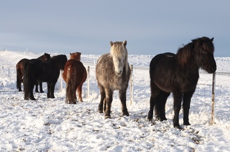 Icelandic horses - ride them, use them and ... eat them
